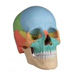 Dydaktyczna czaszka osteopatyczna
