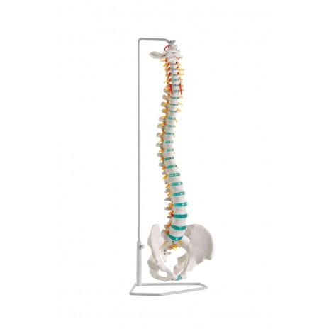 Elastyczny model kręgosłupa