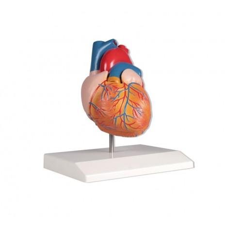 Dwuczęściowy model ludzkiego serca