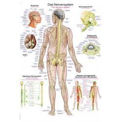 Układ nerwowy - tablica anatomiczna