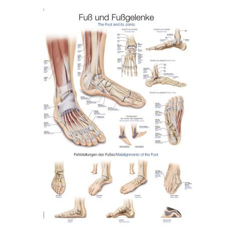 Tablica anatomiczna – stopa i staw skokowy