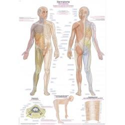 Dermatomy – tablica anatomiczna