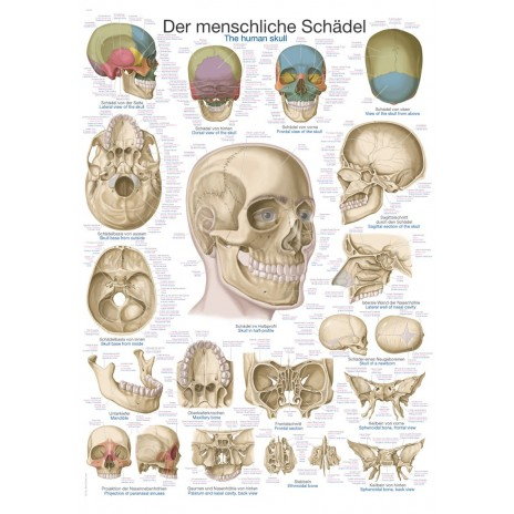 Czaszka – tablica anatomiczna