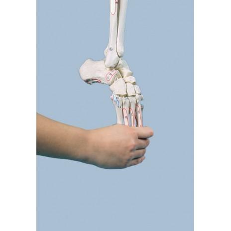 Szkielet kończyny dolnej z połową miednicy z oznaczonymi przyczepami mięśni