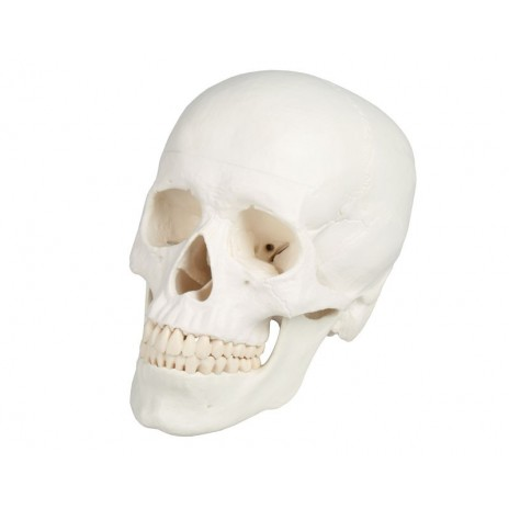 3-częściowy model czaszki