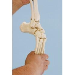 Elastyczny szkielet stopy