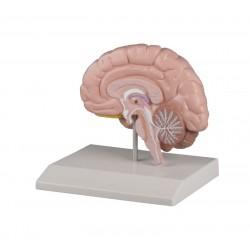 Model półkuli mózgu