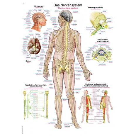 Tablica anatomiczna – układ nerwowy