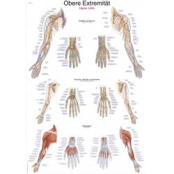 Kończyna górna – tablica anatomiczna
