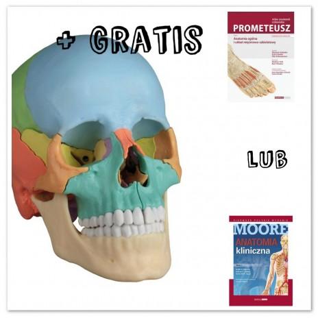 PAKIET Dydaktyczna czaszka osteopatyczna PLUS ATLAS GRATIS