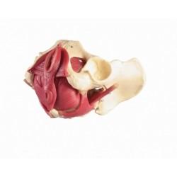Model mięśni dna miednicy kobiety, 12 części
