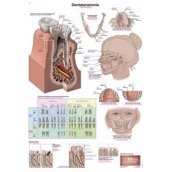 Anatomia zębów - tablica anatomiczna