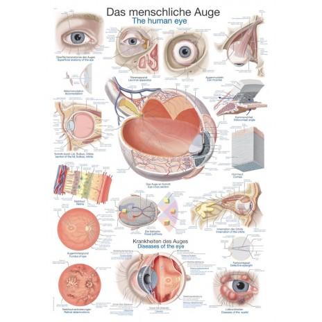 Oko - tablica anatomiczna