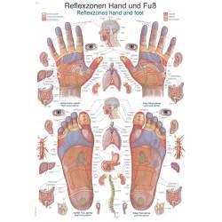 Refleksologia dłoni i stóp - tablica anatomiczna