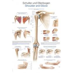 Ramię i łokieć - tablica anatomiczna