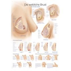 Piersi - tablica anatomiczna
